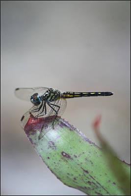 Photograph - Dragonfly by Mandy Shupp