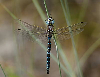 Photograph - Dragonfly Meditating by Ben Upham III