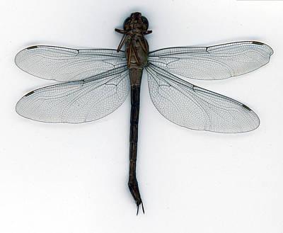 Photograph - Dragonfly by Muyiwa OSIFUYE