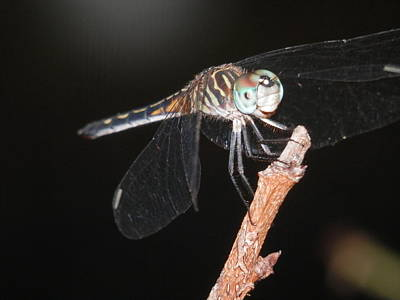 Photograph - Dragonfly Night Flier by Belinda Lee