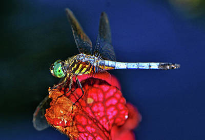 Photograph - Dragonfly On A Pitcher Plant 009 by George Bostian