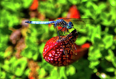 Photograph - Dragonfly On A Pitcher Plant 011 by George Bostian