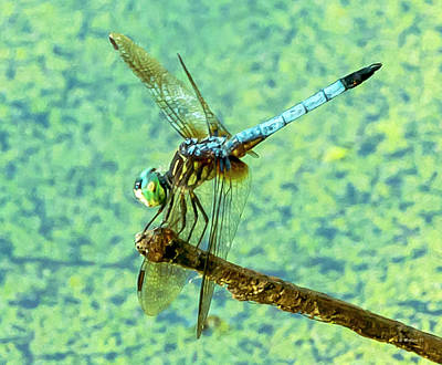 Photograph - Dragonfly On A Twig by Brian Wallace