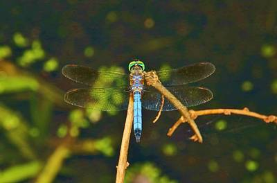 Photograph - Dragonfly On A Twig by Karen Silvestri