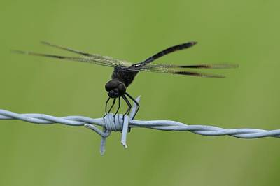 Photograph - Dragonfly On Barbed Wire by Bradford Martin