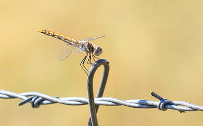 Photograph - Dragonfly On Barbed Wire by Steve McKinzie
