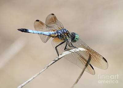 Photograph - Dragonfly On Bent Reed by Carol Groenen