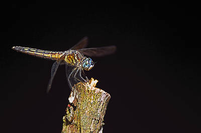 Photograph - Dragonfly On Black by Sharon Talson