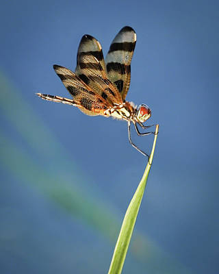 Photograph - Dragonfly On Blue by Dawn Currie