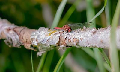 Photograph - Dragonfly On Brach by Leif Sohlman