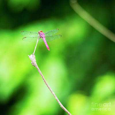 Royalty-Free and Rights-Managed Images - Dragonfly On Branch by Tim Hester