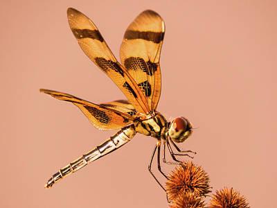 Dragonfly On Bur-reed Art Print