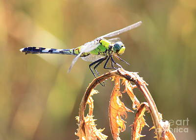 Photograph - Dragonfly On Dry Leaves by Carol Groenen