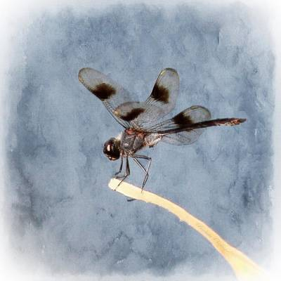 Dragonfly On Edge  Print by Barbara Chichester