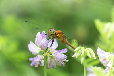 Photograph - Dragonfly On Flowers by Brian Hale