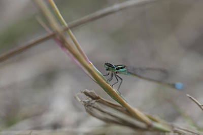 Photograph - Dragonfly On Grass by Christopher L Thomley