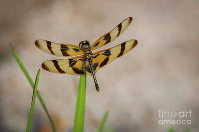 Dragonfly On Grass Art Print