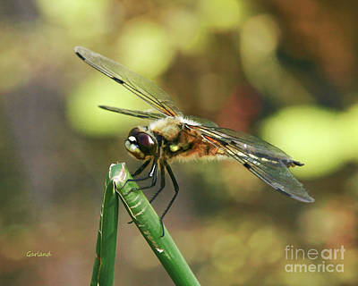 Impasto Mixed Media - Dragonfly On Green Branch by Garland Johnson