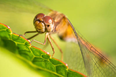 Dragonfly Photograph - Dragonfly On Leaf by Jim Hughes