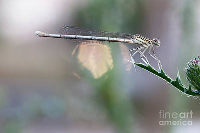 Photograph - Dragonfly On Leaf by Michal Boubin