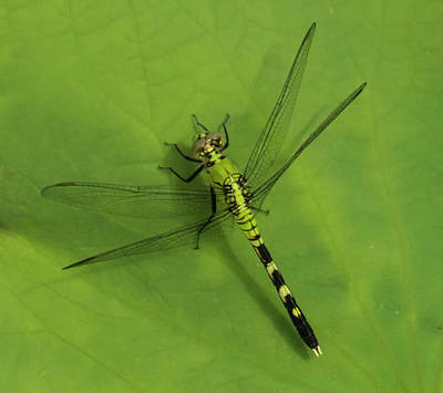 Photograph - Dragonfly On Leaf by Roberta Kayne