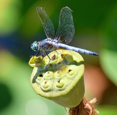 Photograph - Dragonfly On Lotus by Richard Bryce and Family