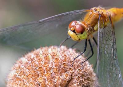 Macro Dragonfly Photograph - Dragonfly On Monarda by Jim Hughes