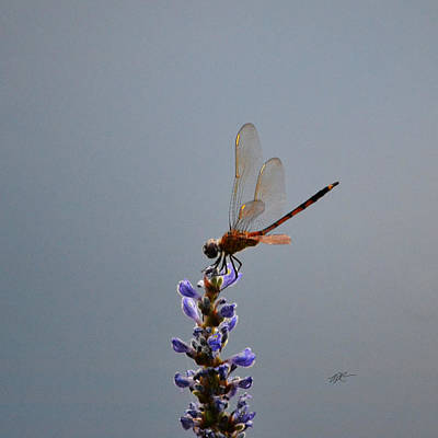 Photograph - Dragonfly On Pickerel Weed by rd Erickson