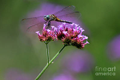 Photograph - Dragonfly On Purple Verbena by Karen Adams