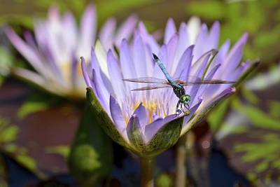 Photograph - Dragonfly On Purple Waterlily by Tana Reiff
