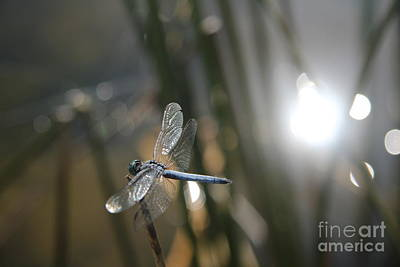Photograph - Dragonfly On Reed by Anthony Jones
