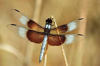Art Print featuring the photograph Dragonfly On Reed by Sheila Brown