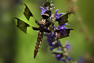 Photograph - Dragonfly On Salvia by  Onyonet  Photo Studios