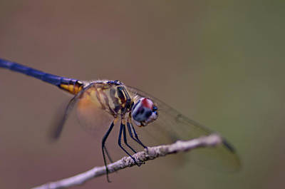 Photograph - Dragonfly On Twig by Vincent Billotto