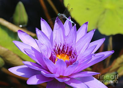 Dragonfly On Water Lily Art Print by Carol Groenen