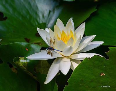 Photograph - Dragonfly On Waterlily  by Allen Sheffield