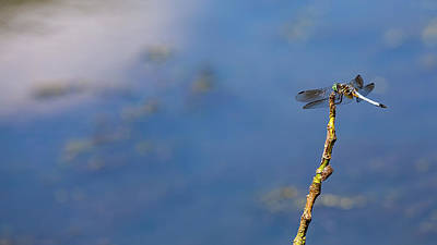 Photograph - Dragonfly Poised on a Twig by Howard Yermish