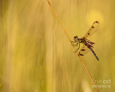 Photograph - Dragonfly Pole Dance by Christina VanGinkel