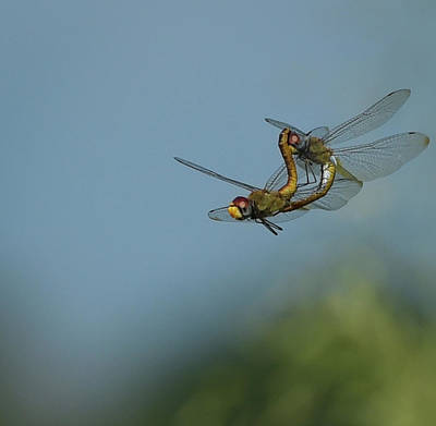 Metal Dragonfly Photograph - Dragonfly Porn by Dot Rambin
