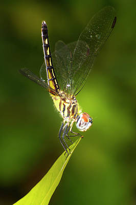 Photograph - Dragonfly Pose by Mark Andrew Thomas
