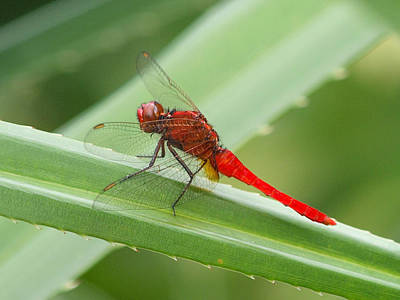 Photograph - Dragonfly Red 2 by Phil Stone