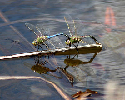 Photograph - Dragonfly Reflections 1 by George Jones