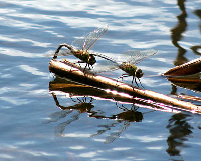 Photograph - Dragonfly Reflections 3 by George Jones