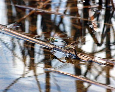 Photograph - Dragonfly Reflections 4 by George Jones