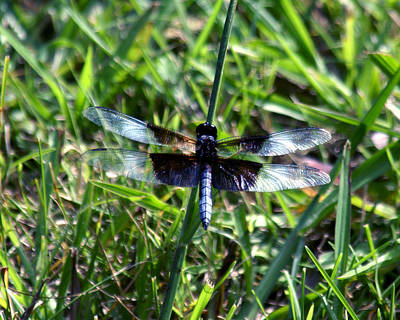 Dragonfly Resting Art Print by D Winston