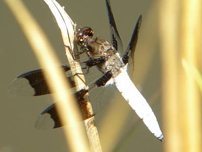 Grass Photograph - Dragonfly by Ric Schafer