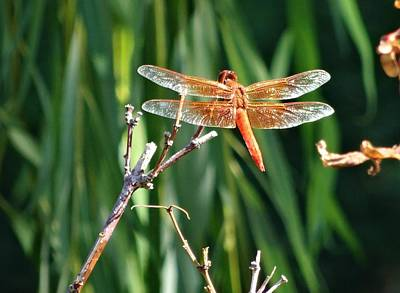 Dragonfly Photograph - Dragonfly by Savanna Paine