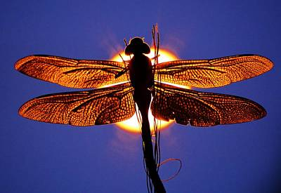 Photograph - Dragonfly Sentinal by Tamara Michael