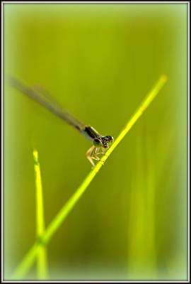 Photograph - Dragonfly by Shayne Johnson Fleming