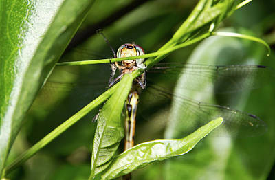 Photograph - Dragonfly Smiles by Miroslava Jurcik